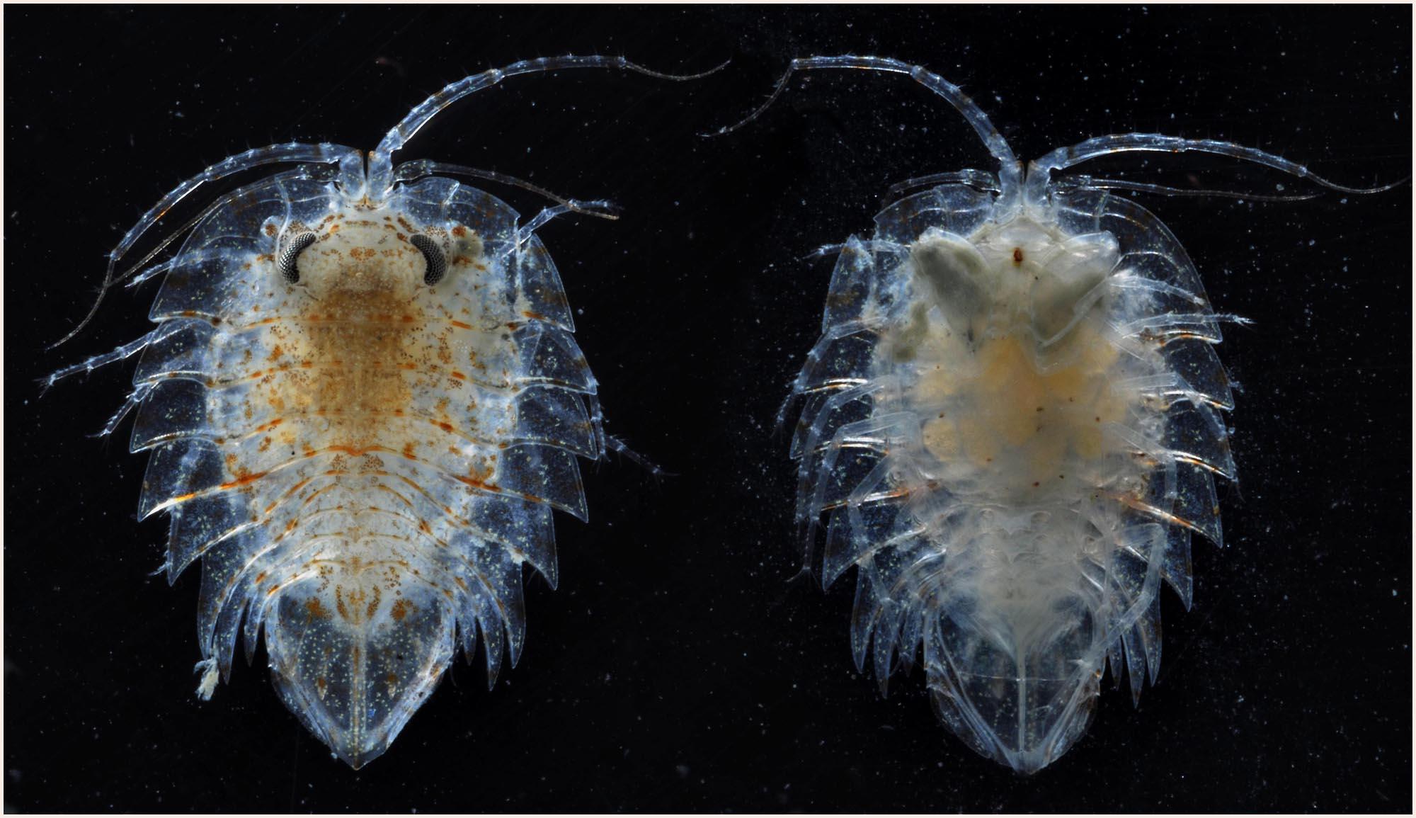 Isopods Pill Bugs Arthropoda