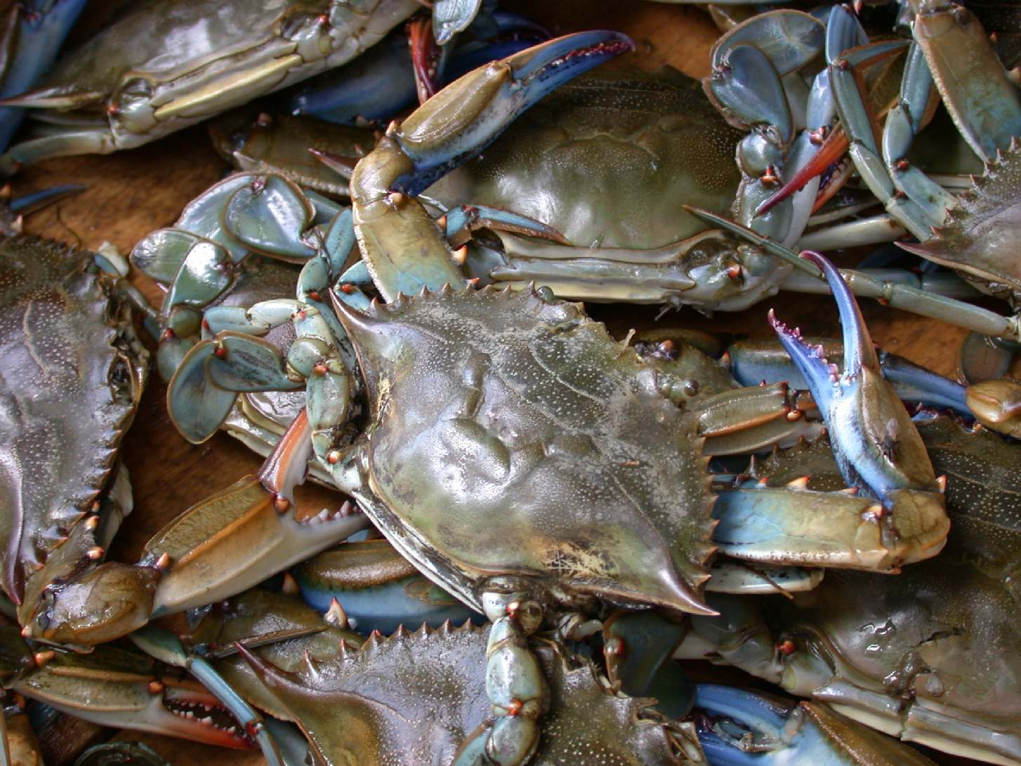 the economic impact of callinectes sapidus on the american market The american blue crab may benefit from global warming, and there is increasing  concern about its ecological and economic impacts  the species is starting to  penetrate the southern european shellfish markets (ribeiro and veríssimo,.