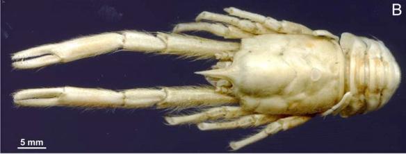 Munidopsis andamanica
