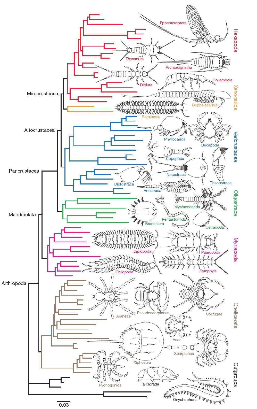 Phylogenetics | Arthropoda