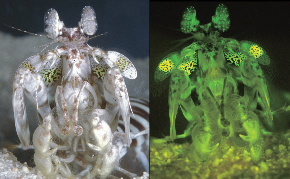 glabriuscula in white light (left) and blue light (right). Blue light ...