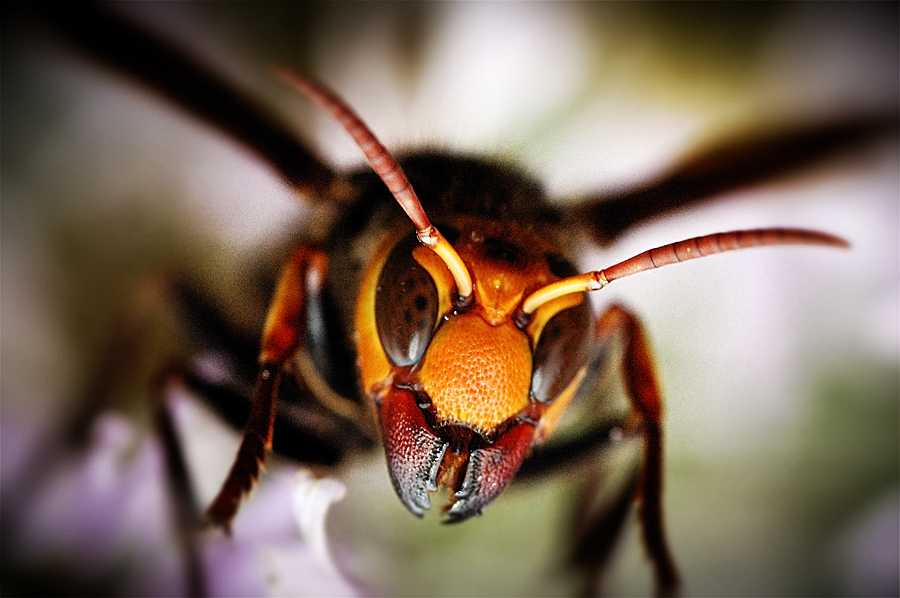 Asian Giant Hornet | Arthropoda