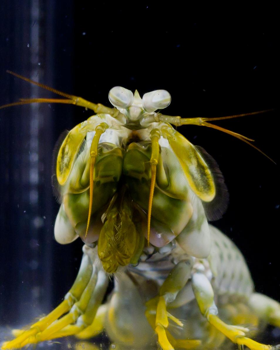Mantis Shrimp | Arthropoda